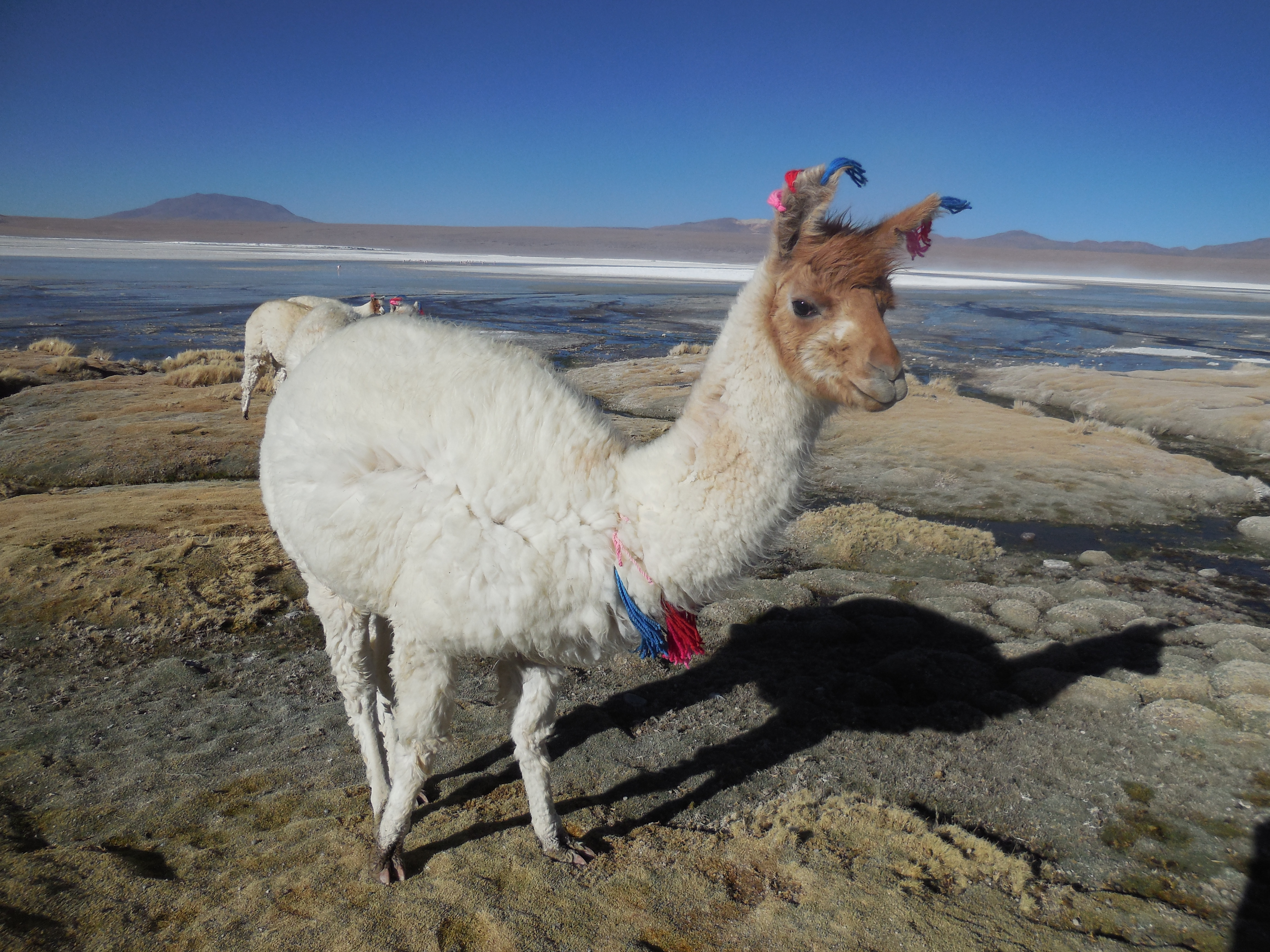 Anden Lama Bolivien