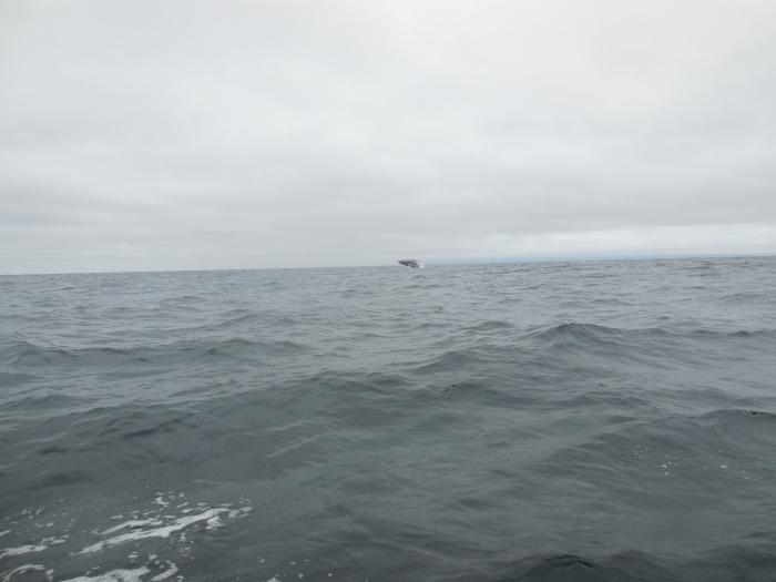 Wale um Puerto Lopez