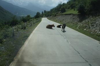 Kühe versperren den Weg - wieder einmal