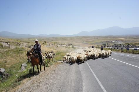 Die Schafe werden einfach über die Straße getrieben