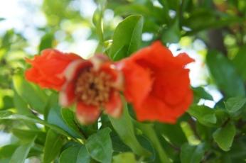 Grantapfelblüten