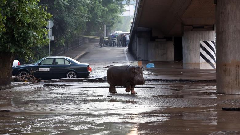 Nilpferd im überschwemmten Tiflis
